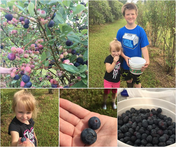 Blueberry picking near Baton Rouge & Beyond - Louisiana Blueberry Farms, Orchards and U-Picks Guide