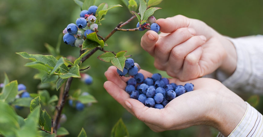 Blueberry picking near Baton Rouge & Beyond -Louisiana Blueberry Farms, Orchards and U-Picks Guide