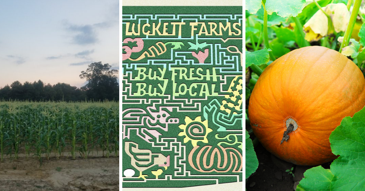 Luckett Farms Corn Maze
