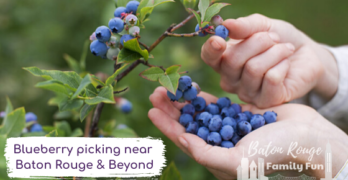 Berry picking near Baton Rouge